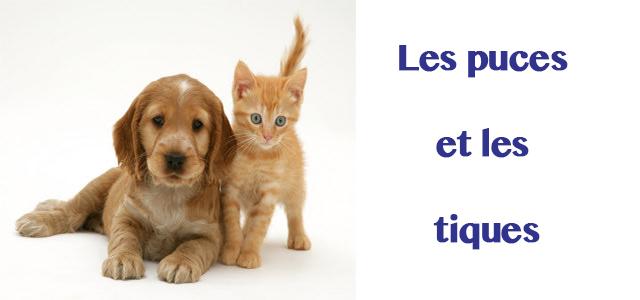 Les chats et chiens les puces et les tiques le blog d 39 espritphyto - Que faire contre les puces ...
